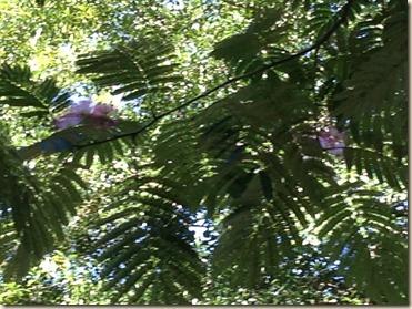 flowering mimosa