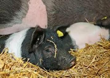 Amazing Pictures of Animals, Photo, Nature, Incredibel, Funny, Zoo, British Saddleback, Pig, Sus scrofa domesticus, Mammals, Alex (10)
