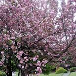 cherry blossom at Shinjuku Gyoen in Shinjuku, Tokyo, Japan