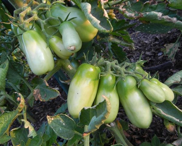 [Green%2520Tomatoes%255B5%255D.jpg]