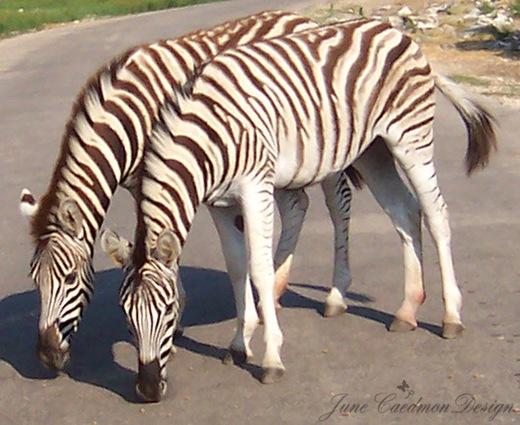 Zebra_Pair