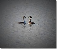 great crested grebes mating Jan 2014