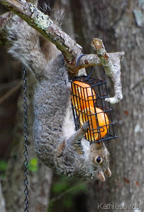 9. gray squirrel eating oranges-kab