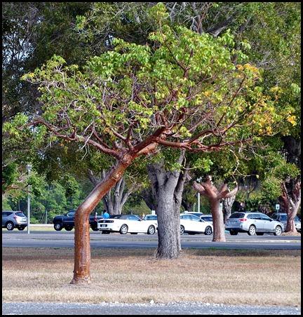 10e1 - Tree Walk - Gumbo Limbo