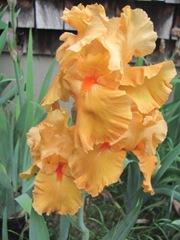 Spring 2012 orange gold iris