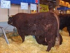 2007.03.05-024 taureau de Salers