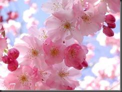 cherry-blossoms-facebook-HD