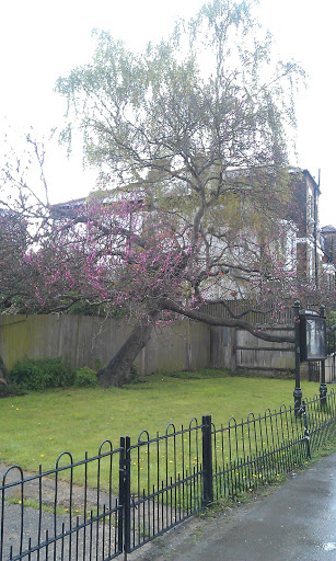 Judas Tree Brockwell Park