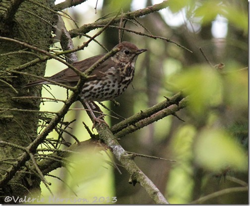 27-songthrush
