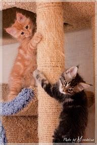 Фото история котят мейн кун в возрасте 7,5 недель 6