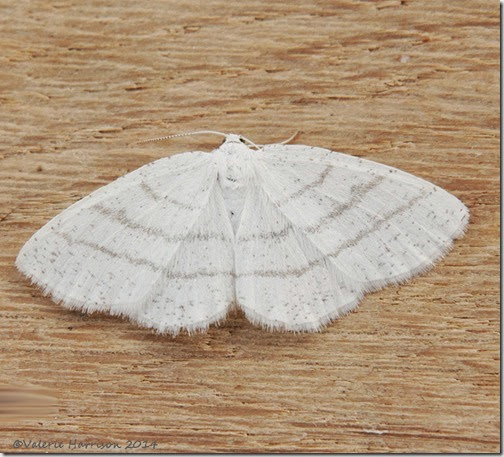Common-White-Wave