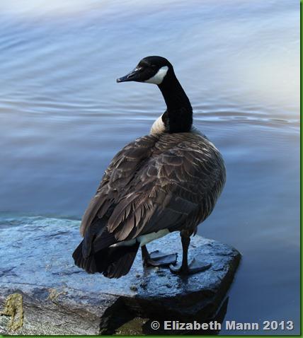 89-goose2