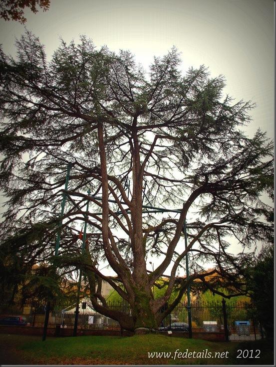 Parco Massari ( cedro del libano ), Ferrara, Emilia Romagna, Italia - Parco Massari (cedar of lebanon), Ferrara, Emilia Romagna, Italy - Property and Copyrights of www.fedetails.net