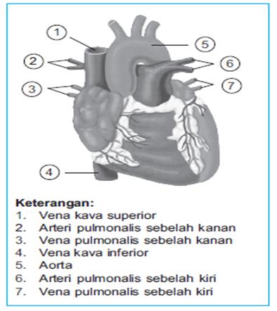 Letak pembuluh darah di jantung