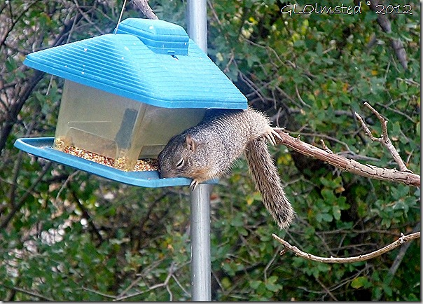 04 Rock squirrel on feeder Yarnell AZ (1024x734)