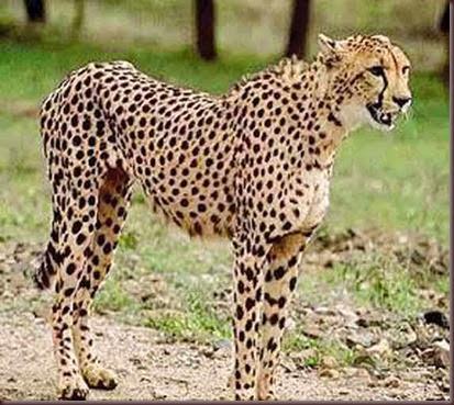 Amazing Animal Pictures Cheetah (14)
