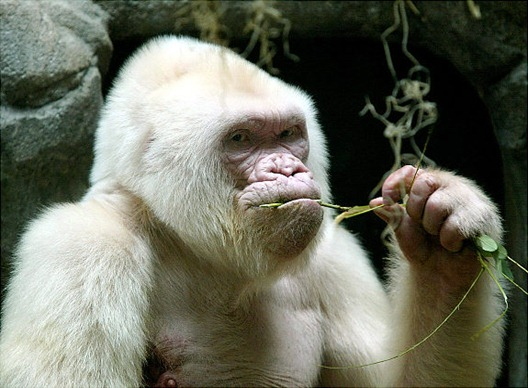 gal_albino_gorilla