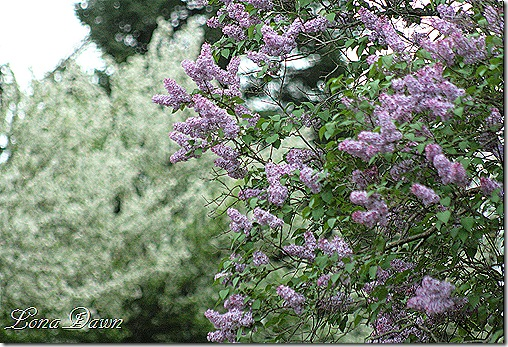 Lilacs_Of_Spring3