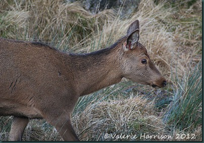4-red-deer