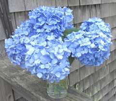 Hydrangea blue cut in vase waiting to dry2