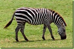 zebra_b