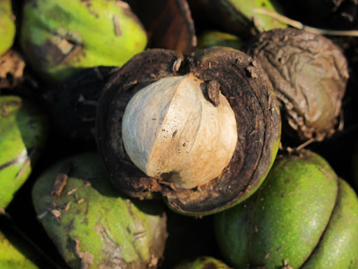 Franny, these nuts are not only a food source for animals, but for people, as well!  The shagbark variety of hickory nuts are sought for their sweet flavor, but aren't practical for commercial use because of their small size.