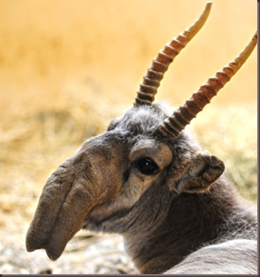 Amazing Animal Pictures The Saiga Antelope (1)
