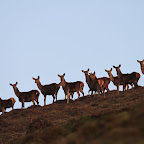 Deer in the quantocks 168.JPG