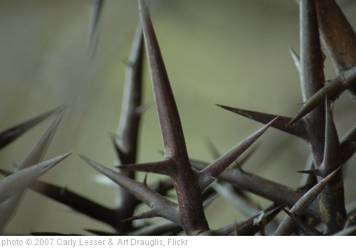 'girdle of thorns' photo (c) 2007, Carly Lesser &  Art Drauglis - license: http://creativecommons.org/licenses/by-sa/2.0/