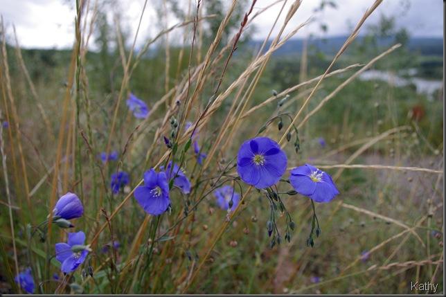Wild Flax