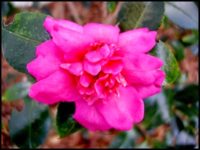 camellia8
