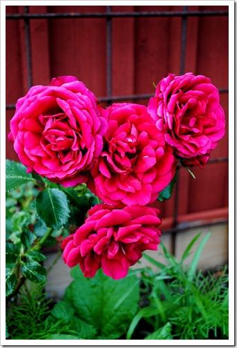 trädgården juli 2011 010