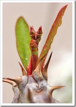 120325_Euphorbia-millii_01
