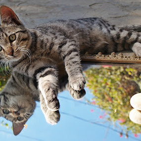 by Lalaji Anwar - Animals - Cats Playing