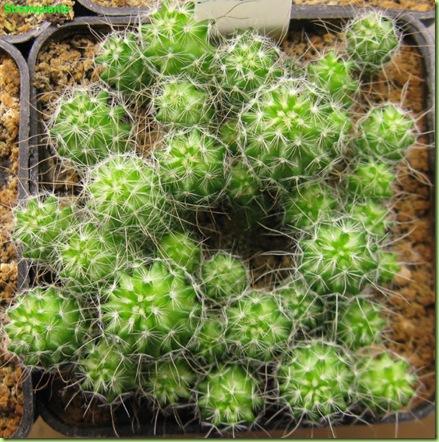 Stenocactus multicostatus-2011-10-10_00020IMG_6802 (2)