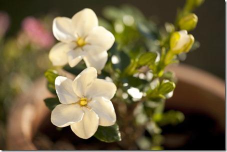 Gardenia11