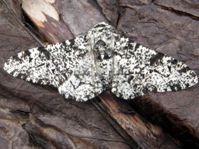 Peppered Moth Garden Moths 010610 002
