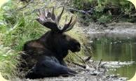 Bull_ moose_194x116