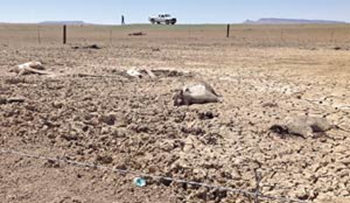 A horse is found near Cottonwood, Arizona, with its face and lower body stuck in clay mud, 20 June 2013. After eight straight years of drought, desperate horses have begun wading into deadly mud puddles to quench their thirst. Photo: Larissa Jimmy / Navajo Times