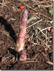 Asparagus spears emerge in early Spring; we keep cutting them at ground level while they remain flexible and we haven't gotten sick of eating them.