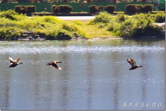 花蓮-理想大地渡假村-豐之谷生態公園。理想大地風之谷的生態池見到的雁鴨,由於我的驚擾,讓牠們急急忙忙的飛走了。
