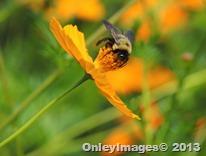 bee on coreopsis0821 (8)