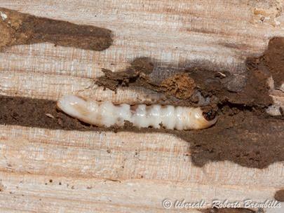 15-2014-02-20_larva Aegosoma scabricorne_Varenna (15)