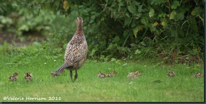 pheasant-and-chicks
