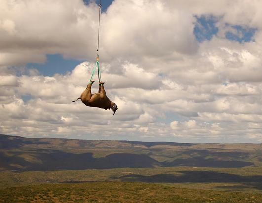 An endangered black rhino is airlifted to safety from poachers. The seventh black rhino population established by the WWF Black Rhino Range Expansion Project, was recently released after an epic 1500 kilometer trip across the country. 19 of the critically endangered animals were moved from the Eastern Cape to a new location in Limpopo province. Green Renaissance / www.greenrenaissance.co.za
