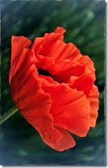 flor vermelha foto