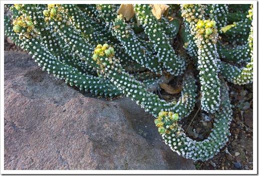 121013_RBG_Euphorbia-inermis-var-huttonae_02