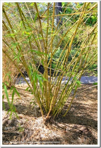 150325_SDBG_0070_Chusquea-mimosa-australis