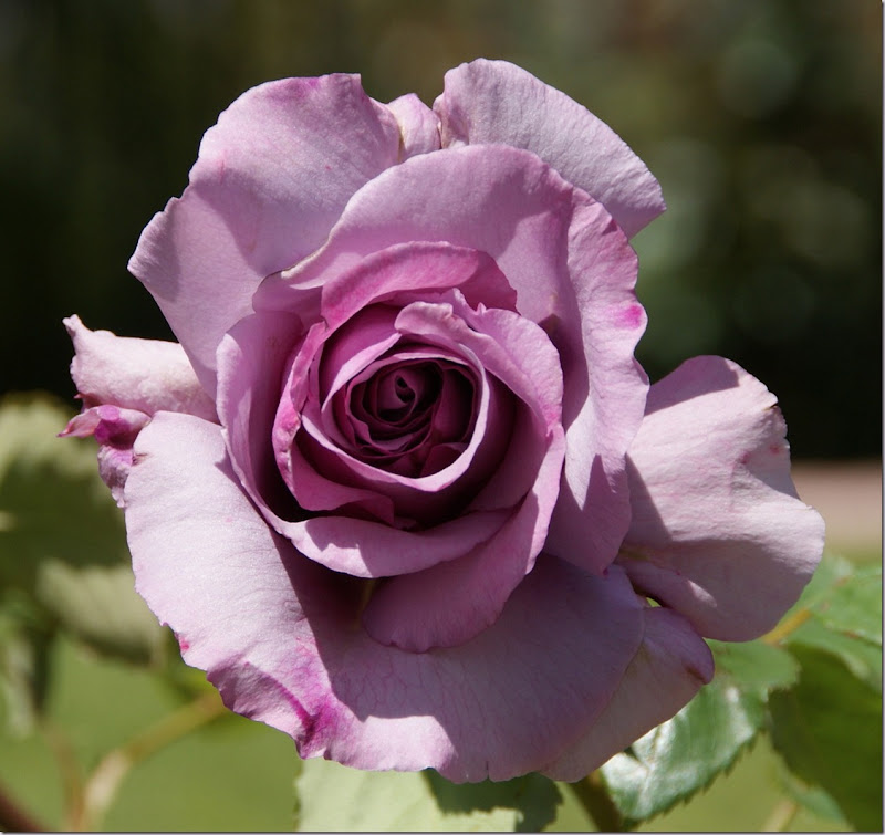 Lavender, Mauve or Mauve-Blend. Flower for June ROSE.