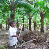 A man showing us how to harvest oil palm fruit bunches